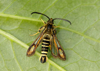0382 Six-belted Clearwing Bembecia ichneumoniformis