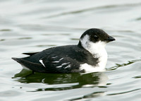 Little Auk Alle alle