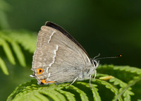Purple Hairstreak Neozephyrus quercus