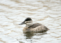 Ruddy Duck Oxyura jamaicensis