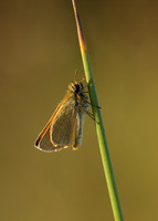 Small Skipper Thymelicus sylvestris