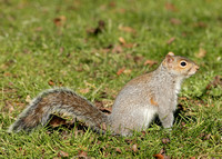 Grey Squirrel Neosciurus carolinensis