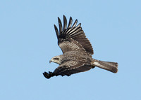 Black Kite Milvus migrans