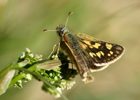 Chequered Skipper Carterocephalus palaemon