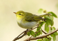 Wood Warbler Phylloscopus sibilatrix