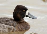 Lesser Scaup Aythya affinis
