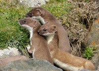 Stoat Mustela erminea