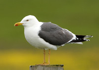 Lesser Black-backed Gull Larus fuscus