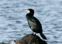 Cormorant Phalocrocorax carbo