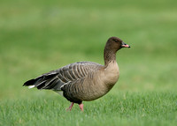 Pink-footed Goose Anser brachyrhynchus