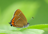 Black Hairstreak Satyrium pruni