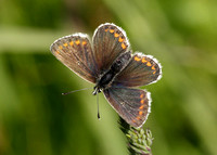 Northern Brown Argus Aricia artaxerxes salmacis
