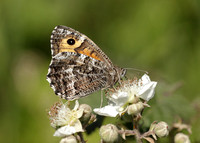 Grayling Hipparchia semele