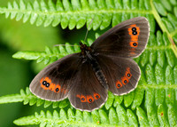 Scotch Argus Erebia aethiops