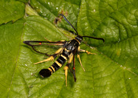 0374 Yellow-legged Clearwing Synanthedon vespiformis