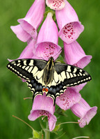 Swallowtail Papilio machaon