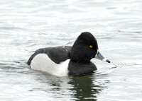 Ring-necked Duck Aythya collaris