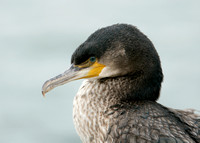 Shag Phalocrocorax aristotelis
