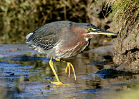 Green Heron Butorides striatus virescens