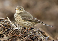 Buff-bellied Pipit  Anthus rubescens Cheshire Jan 2014