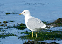 Common Gull Larus canus