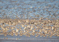 Snettisham waders