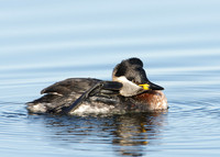 Red-necked Grebe Podiceps grisegna