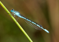 Common Blue Damsefly Enallagma cyathigerum