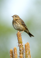 Tree Pipit Anthus trivialis