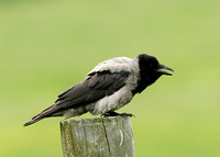Hooded Crow Corvus corone cornix
