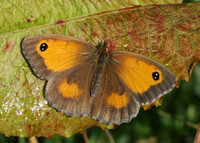 Gatekeeper Pyronia tithonus