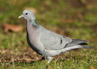 Stock Dove Columba oenas