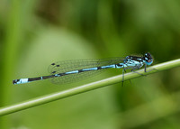 Variable Damselfly Coenagrion pulchellum