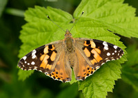 Painted Lady Vanessa cardui