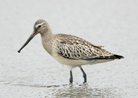 Bar-tailed Godwit Limosa lapponica