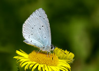 Holly Blue Celastrina argiolus