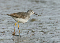 Lesser Yellowlegs Tringa flavipes
