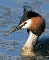 Great Crested Grebe; Podiceps cristatus