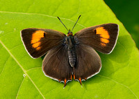Brown Hairstreak Thecla betulae