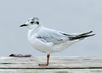 Little Gull Larus minutus