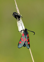 Narrow-bordered Five-spot Burnet Zygaena lonicerae