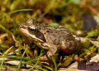 Common Frog Rana temporaria
