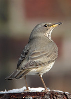 Black-throated Thrush Turdus atrogularis
