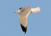 Ring-billed Gull Larus delawarensis