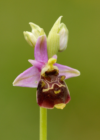 Late Spider Orchid Ophrys fuciflora