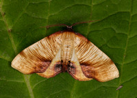 Scorched Wing Plagodis dolabraria