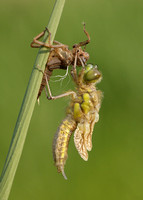 Emerging Four-spotted Chaser 2
