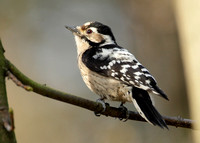 Lesser Spotted Woodpecker Dendrocopus minor