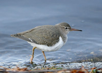 Spotted Sandpiper Actitis macularia