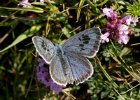 Large Blue Maculinea arion